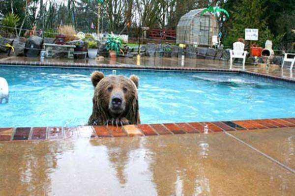 Медведица спустилась с гор, чтобы искупаться в бассейне