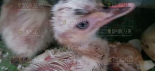 В зоопарке Бургаса пополнение — птенцы страусов Нанду