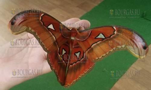 Гиганская бабочка вида Attacus Atlas снова в Бургасе