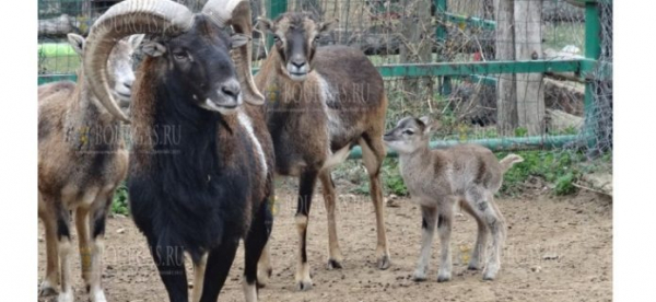 В зоопарке Варны появились на свет два муфлона