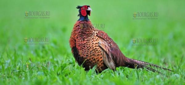 В охотничьи угодьях Балчика выпустят сотни фазанов