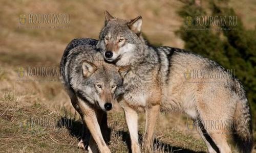Волки в Болгарии частенько тревожат фермеров