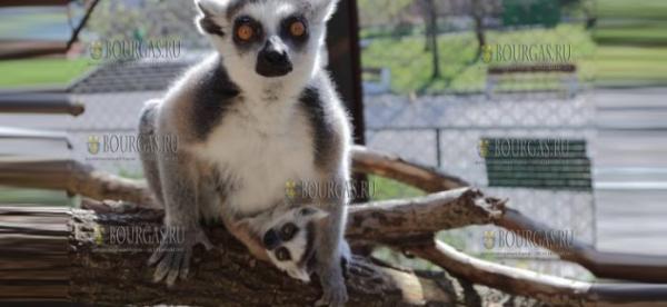В зоопарке Бургаса родились сразу 3 кошачьих лемура