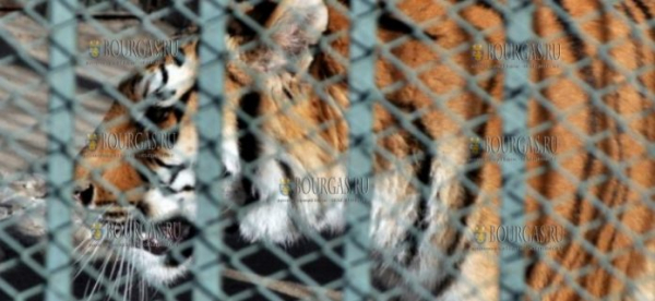 В зоопарке в Хасково пополнение — здесь появился новый питомец 7-летняя тигрица