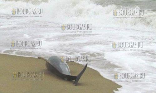В районе Варны обнаружены туши мертвых дельфинов