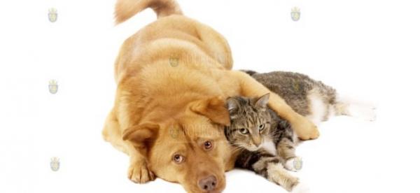 Собаки и домашние коты могут болеть и переносить COVID-19