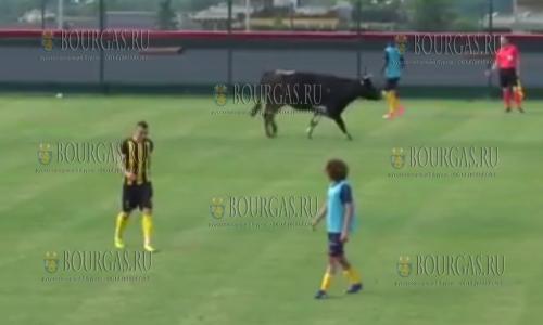 Футбол в Болгарии любят, в т.ч. и коровы