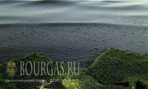 Водоросли атакуют пляжи в Бургасе и регионе