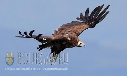 Черный гриф вернулся в болгарское небо