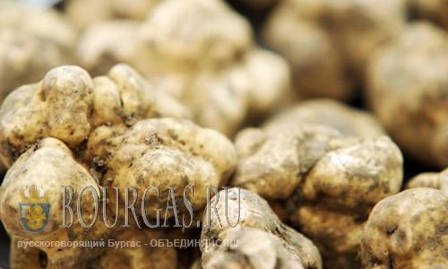 Трюфели в Болгарии — новый вид заработка