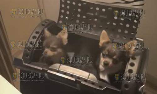 В одном из питомников в Бургасе украли 8 щенков