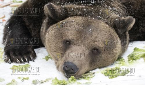 В парке танцующих медведей в Белице все питомцы заснули