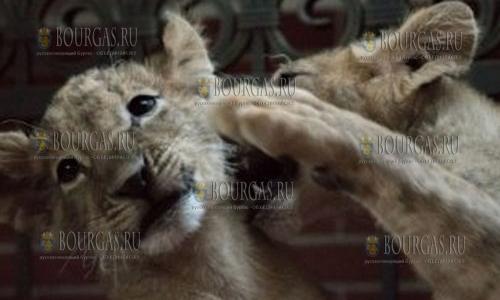 Львята из Болгарии, Тереза и Масуд — отправятся в ЮАР