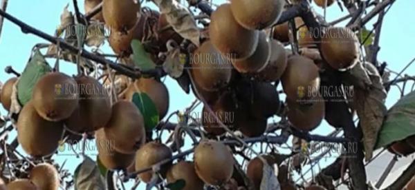 Из-за глобального потепления в Болгарии уже выращивают лимоны и киви