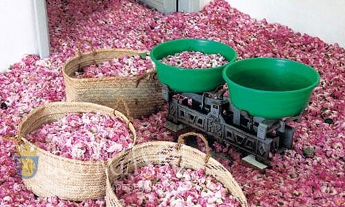 Болгария лидер по объемам производства розового масла