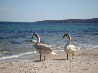 Лебеди на пляже Бургаса зимой…