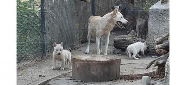В зоопарке Болгарии появилось пополнение у четы волков