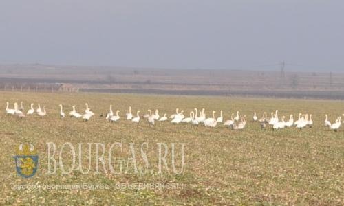 Лебеди на отдыхе в Бургасской области