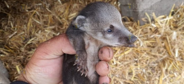 В зоопарке Бургаса появилось потомство у носух