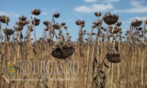 Засуха в Болгарии «съела» урожай подсолнечника