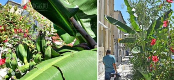 В центре Варны растут и плодоносят бананы