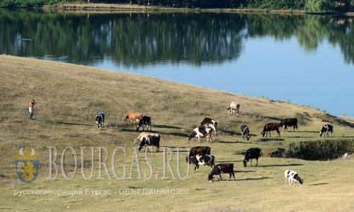 В селе Ягнило в Болгарии бык убил пастуха