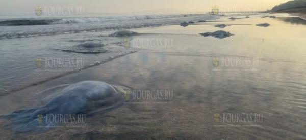 Сегодня десятки медуз оказались выброшены на пляжи Бургаса