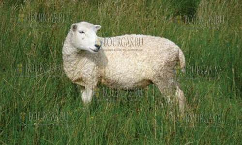 Овцеводство в Болгарии находится в упадке