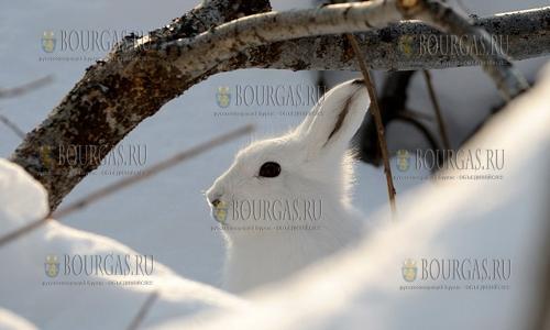 Плодовым деревьям в Болгарии сейчас зайцы угрожаю больше морозов