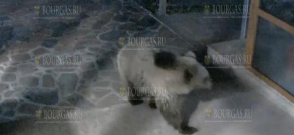 В Болгарии дикий медведь пришел в отель, чтобы принять ванну