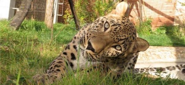 В зоопарке Софии появилась самка персидского леопарда