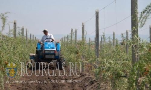 В Бургасе начали выращивать ягоды годжи