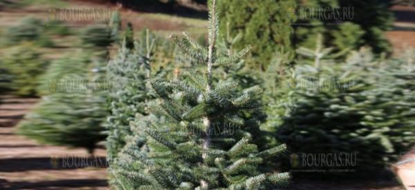 В Бургасе проводят акцию по высадке новогодних елок
