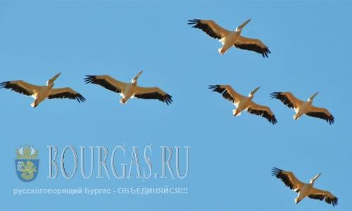Более 1000 розовых пеликанов сегодня живут Атанасовом озере