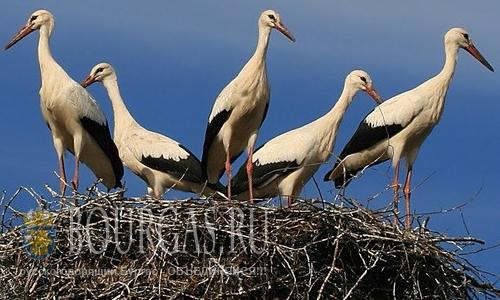 В Болгарии семья аистов растит сразу семь птенцов