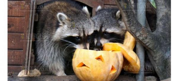 Вчера, жителей зоопарка в Варне кормили тыквами