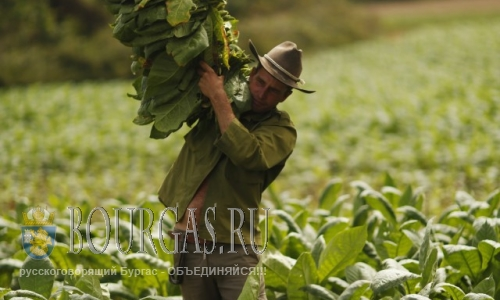 В Болгарии решил поддержать производителей табака