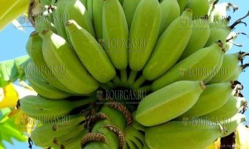 Чудо! Бананы в Болгарии растут и плодоносят