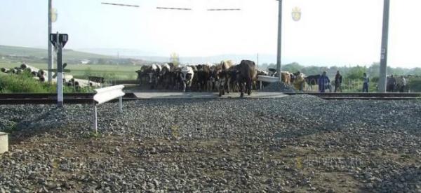 В Болгарии поезд сбил стадо коров