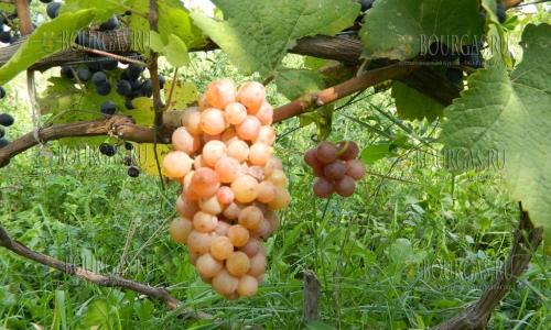И в этом году в Болгарии неурожай фруктов