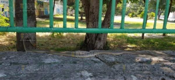В Варне снова была замечена очень большая змея