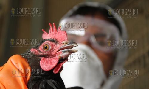 Новая вспышка птичьего гриппа в Болгарии