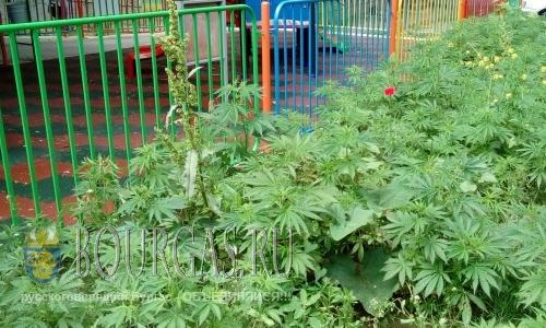 Полиция в Равде обнаружила плантацию конопли