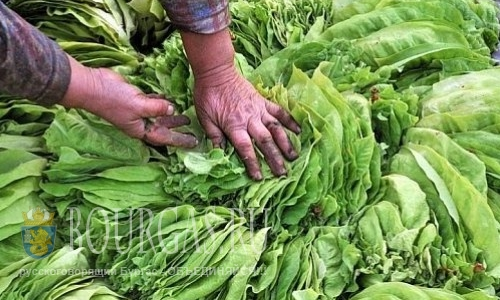 В Болгарии планируют собрать отменный урожай табака